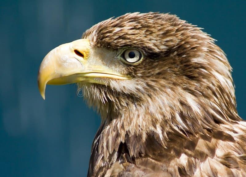 Eagle portrait stock photos