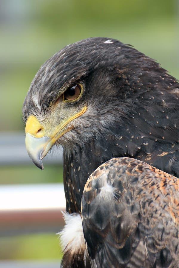 Eagle Portrait immagine stock libera da diritti