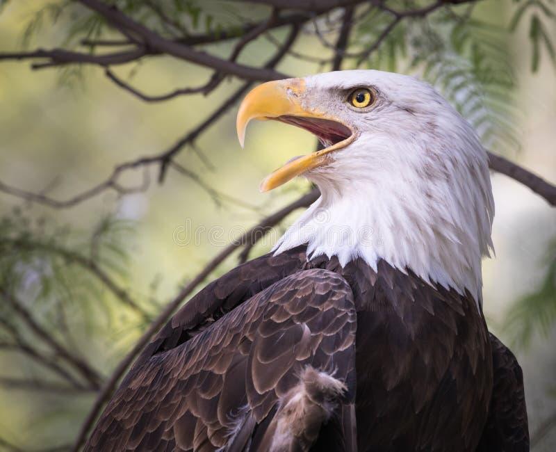Eagle Portrait calvo - guardando al dettaglio laterale del primo piano immagine stock
