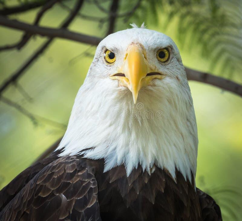 Eagle Portrait calvo - occhi che sembrano di andata & x28; Primo piano Portrait& x29; fotografia stock libera da diritti
