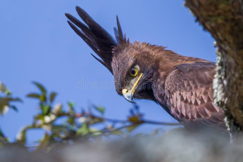 Eagle Portrait A lungo crestato immagine stock