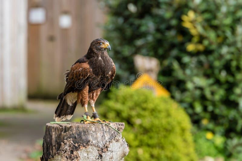 Eagle posing. Beautiful eagle posing close up royalty free stock photo