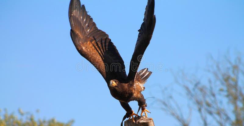 Eagle prêt à voler images stock