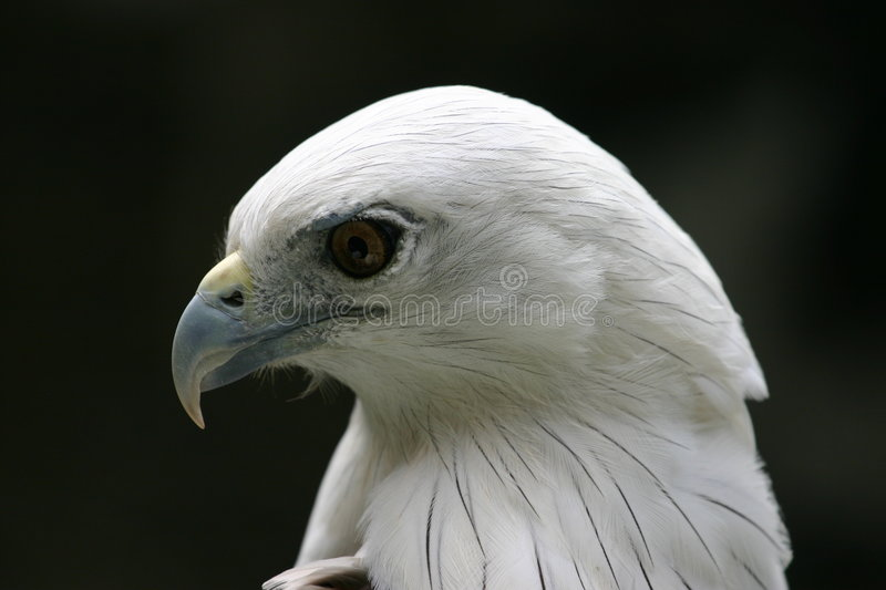Eagle Profile royalty free stock photography
