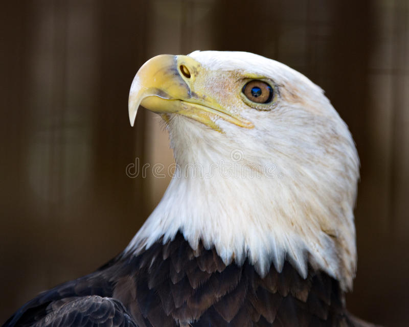 Eagle in Profile. Bald Eagle portrait from right royalty free stock images