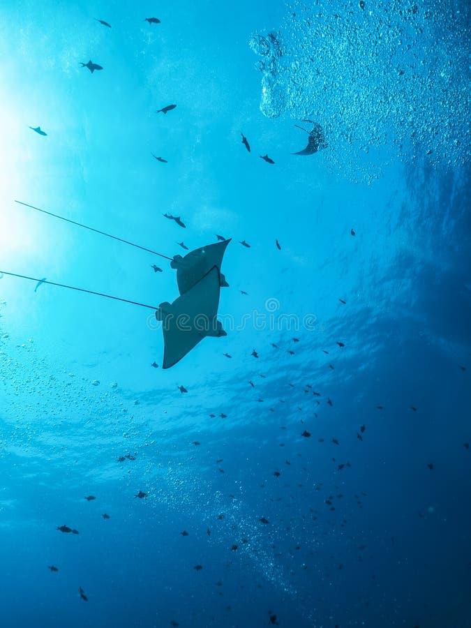 Eagle promienie w błękicie, tropikalnym nawadniają zdjęcie stock