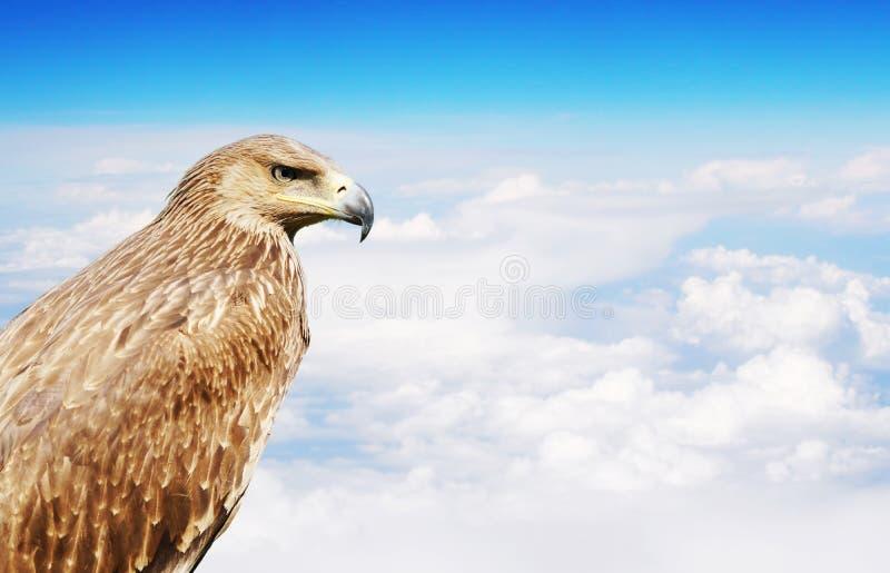 Eagle ptak w profilu nad białymi chmurami obraz stock