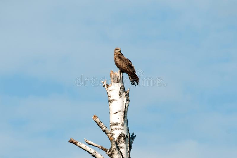 Eagle que se sienta en un árbol y que mira hacia fuera para su almuerzo foto de archivo libre de regalías