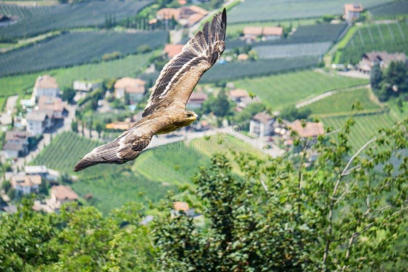 Eagle que voa no céu fotografia de stock