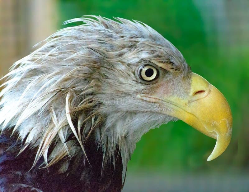 Eagle In Rain calvo em estreitos imagem de stock