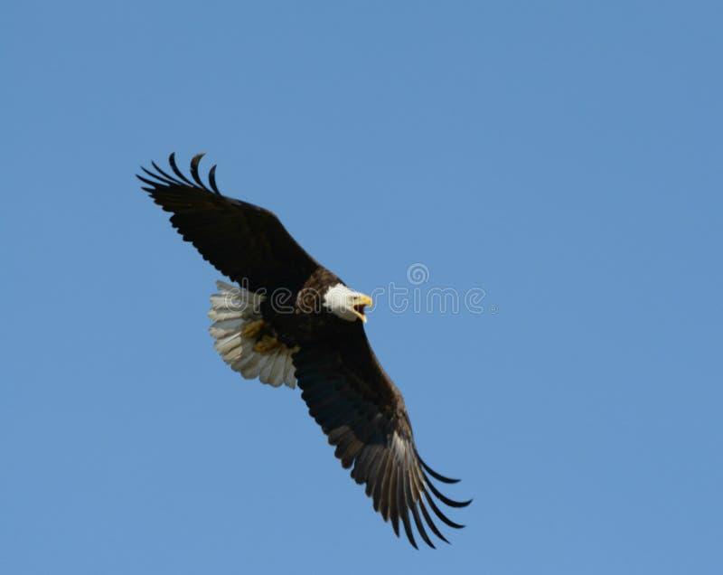 Eagle In Rapid Flight calvo gritando fotografia de stock