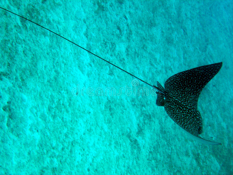 Eagle Ray royalty free stock images