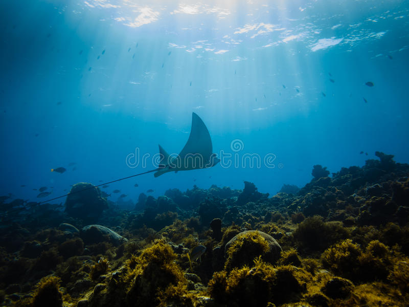 Eagle ray flys across a coral reef royalty free stock photos