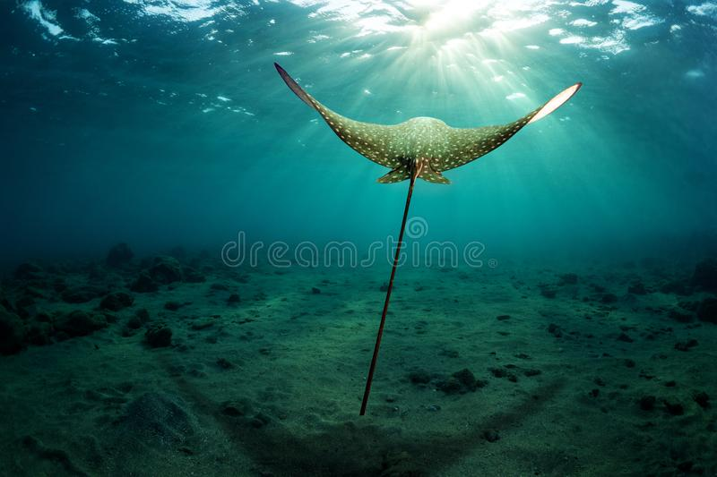 Eagle ray hovers over the sea bottom stock photography