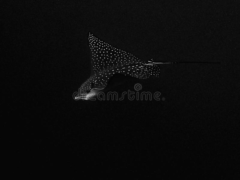 Eagle Ray Underwater Black Background manchado preto e branco imagens de stock