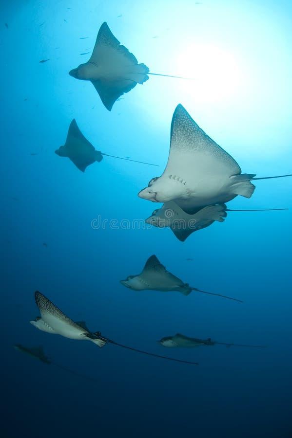 Eagle rays flight, Galapagos stock photos