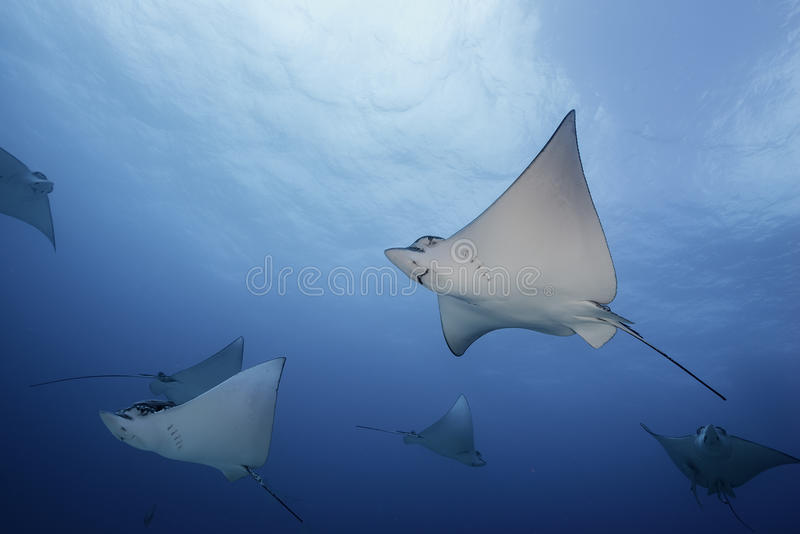 Eagle Rays Mexico stock afbeelding