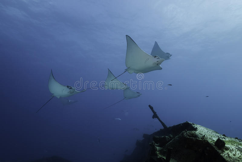 Eagle Rays Mexico imagem de stock royalty free
