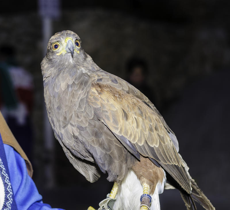 Eagle reale a Bocairent, Spagna immagini stock