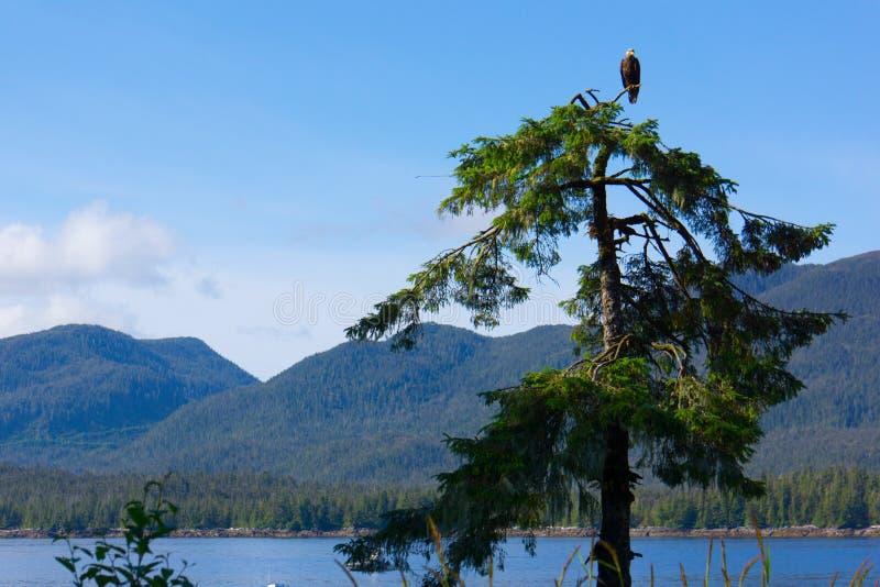 Eagle Resting chauve sur la cime d'arbre photographie stock