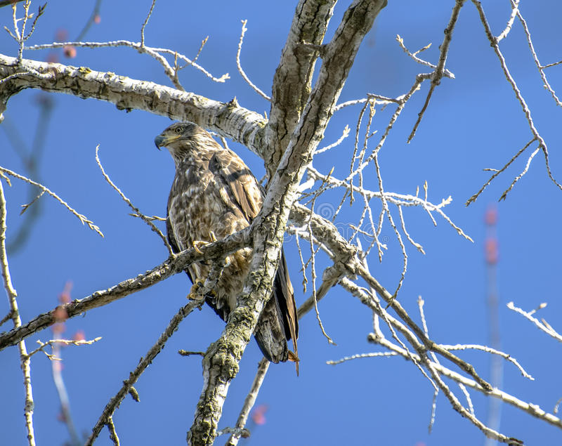 Eagle Rests fotografie stock