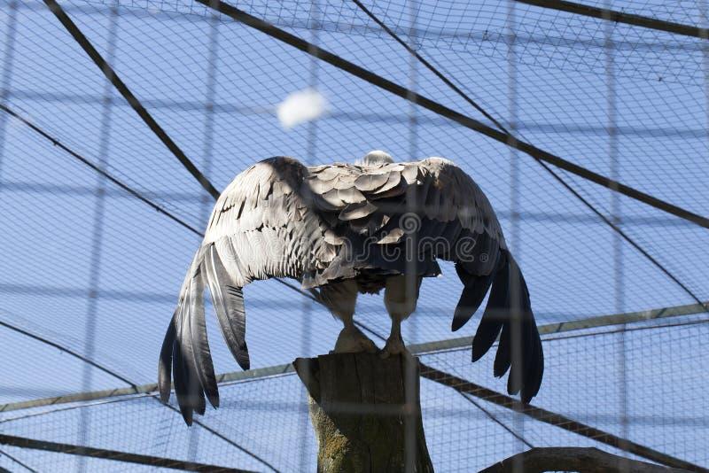 Eagle rozszerzanie się fotografia royalty free