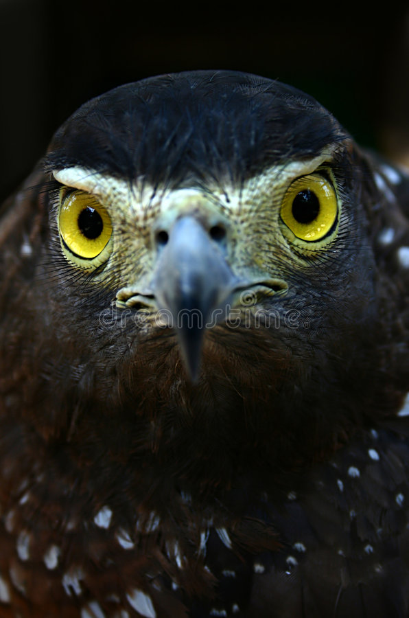 Eagle's stare royalty free stock photos