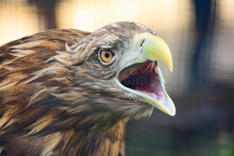 Eagle screaming stock image
