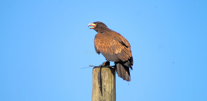 Eagle se reposant sur un poteau en bois photos stock
