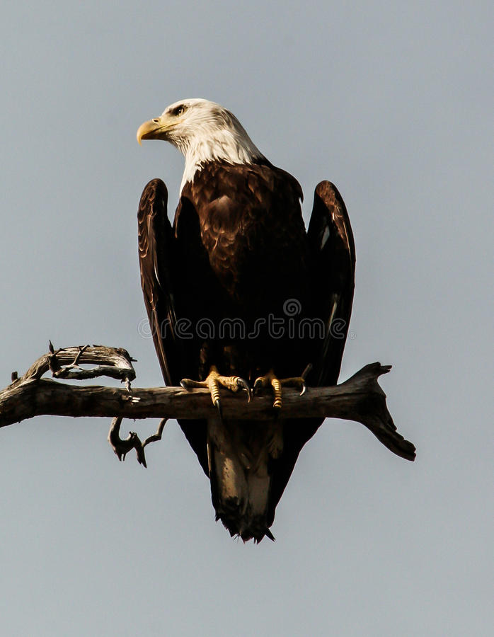 Download Eagle Sentinel chauve image stock. Image du nature, adulte - 87700409