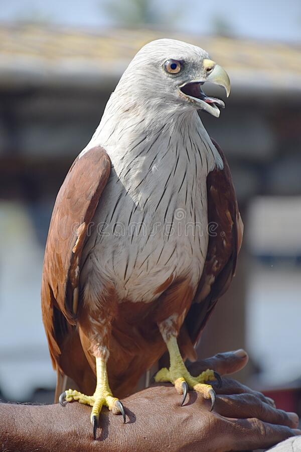 Eagle eyes sharp face to face royalty free stock image