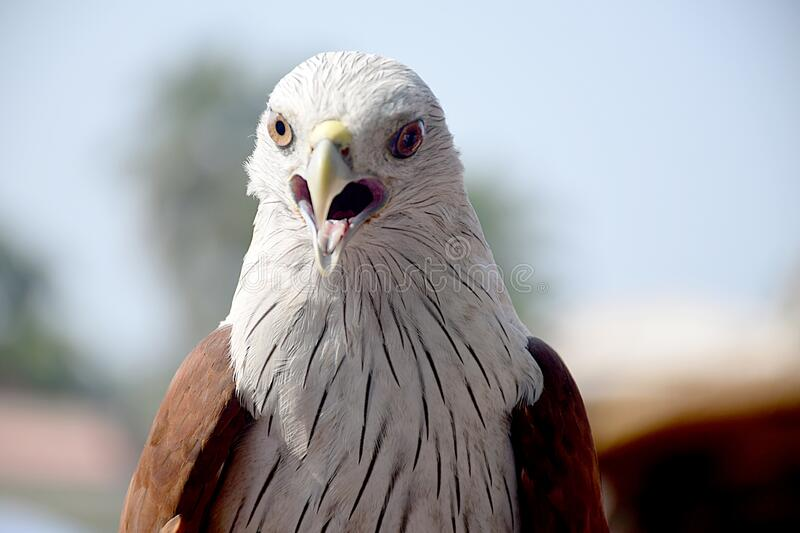 Eagle sharp face to face royalty free stock photography