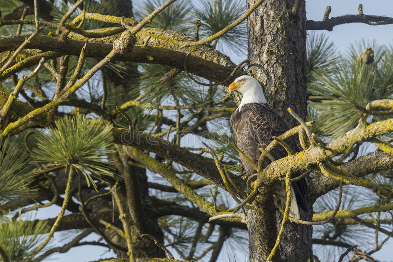 Eagle si è appollaiato in albero fotografia stock