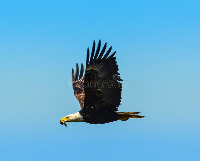Eagle siedlisko zdjęcia royalty free