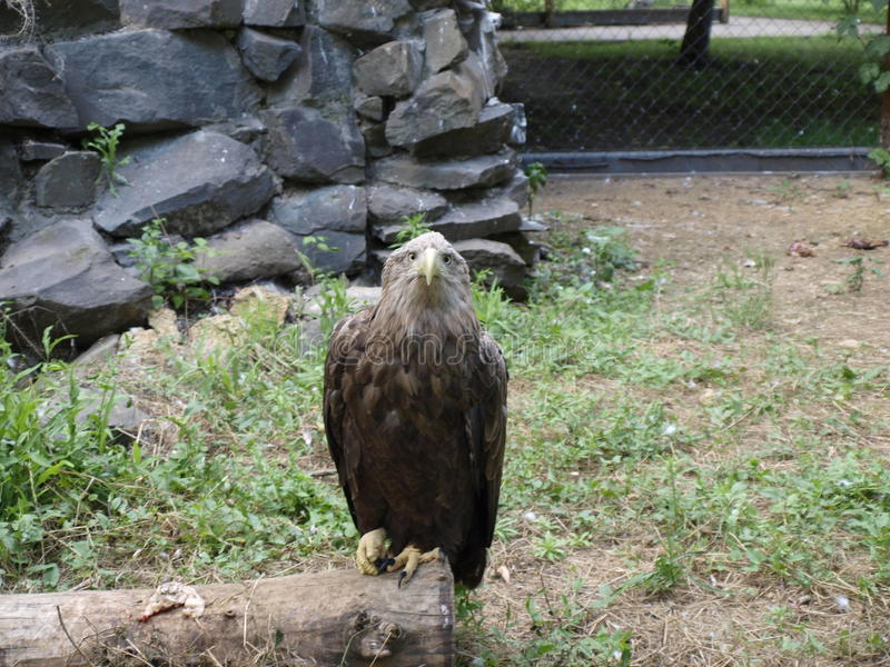 Eagle sight royalty free stock photography