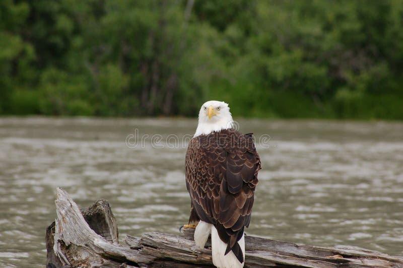 Eagle Sitting calvo no log imagens de stock royalty free
