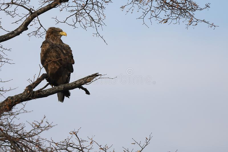 Eagle sitting on tree branch on sky background.  White-tailed eagle Haliaeetus albicilla hunting in natural habitat. Bird of pre. Y looking around seeking for royalty free stock photo