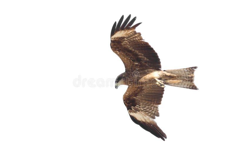 Eagle in the sky stock photos