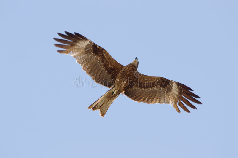 Download Eagle In The Sky Stock Image Of Prey Brown Bird