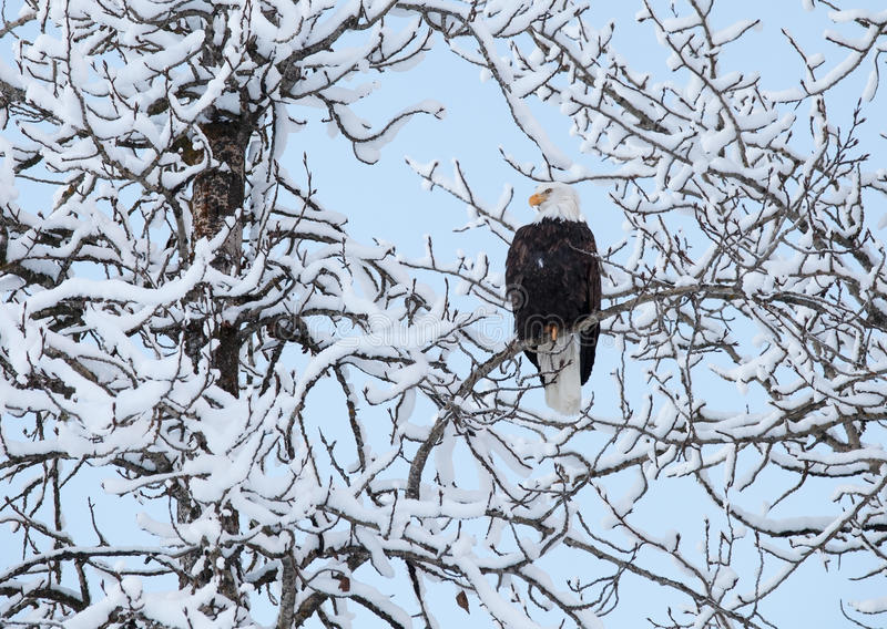 Download Eagle With Snow Covered Branches Stock Photo - Image: 37001382