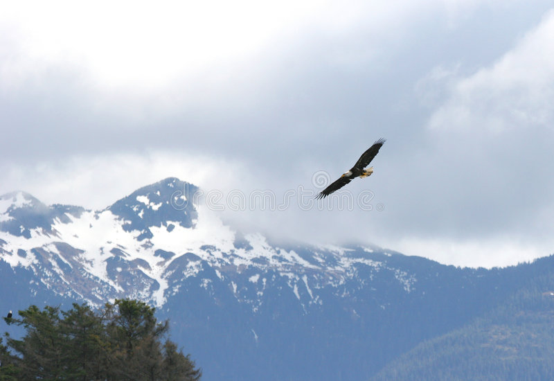 Eagle Soaring. In the Alaskan sky