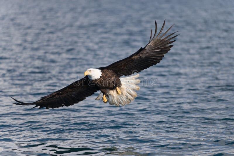 Eagle Soaring calvo nordamericano fotografia stock libera da diritti