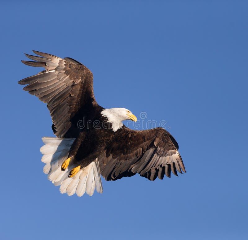 Eagle Soaring calvo nordamericano immagine stock