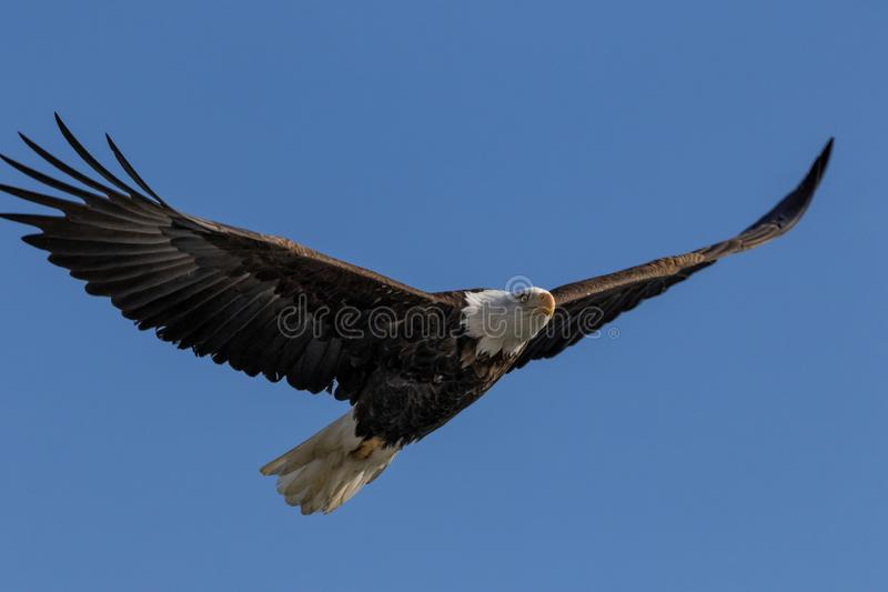 Eagle Soaring chauve avec la diffusion d'ailes images libres de droits