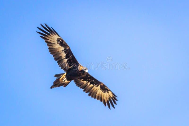 Eagle Soaring Cuneo-munito selvaggio, Romsey, Victoria, Australia, marzo 2019 fotografia stock