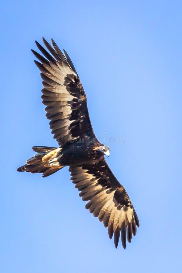 Eagle Soaring Cuneo-munito selvaggio, Romsey, Victoria, Australia, marzo 2019 fotografie stock