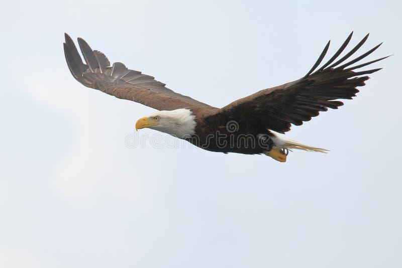 Eagle Soaring Free lizenzfreie stockfotos