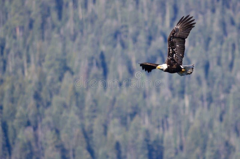 Eagle Soaring High calvo nas montanhas imagens de stock