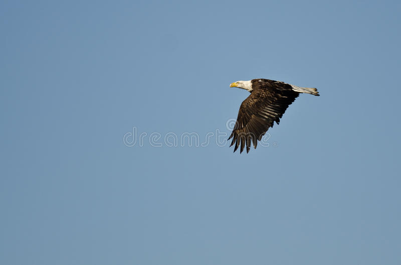 Eagle Soaring High calvo in un chiaro cielo blu fotografia stock libera da diritti