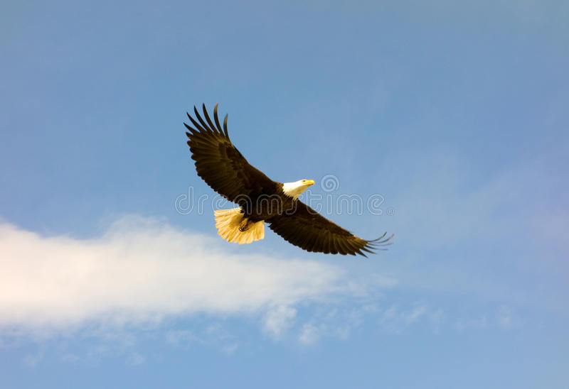 An eagle soaring in northern canada stock photos